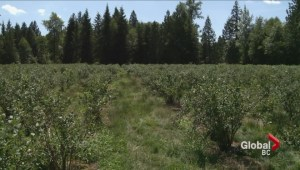 Community rallies to save Langley blueberry farm