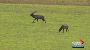 Elk Island National Park considers allowing hunting to address elk, moose populations
