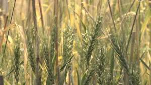 Researchers trying to build allergy-free wheat