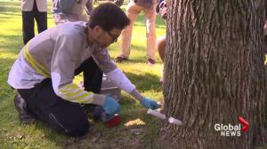Montreal fights emerald ash borer