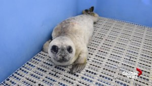 Baby seal pup named 'Timbit' admitted by Marine Mammal Rescue Centre