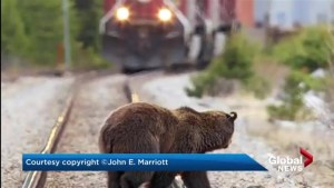 Canmore conservationist says CP Rail needs to do more to protect grizzly bears