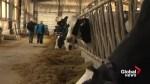 New Brunswick dairy farmers not worried despite Trump's tough talk