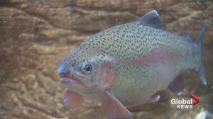 Alberta fishing bans remain but experts hopeful after rainy weekend