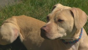 3 pit bulls seized in Ontario to be adopted out by Nova Scotia SPCA