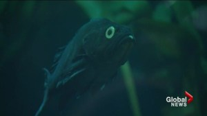 Vancouver Aquarium researchers study fish bullying
