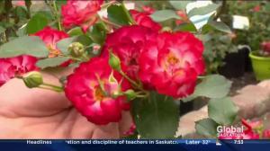 New rose varieties in garden tips