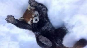 Cute red pandas remind us how much fun snow can be