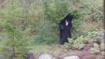 Caught on camera: Post-hibernation stretch and scratch for B.C. bear