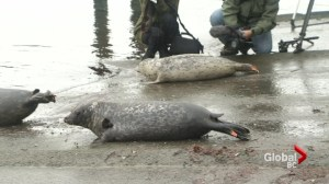 Seal pups released into wild