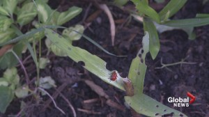 Invasive lily beetle to face menace from abroad