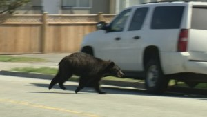 Several bear sightings in Metro Vancouver serves as a reminder that bear season is back