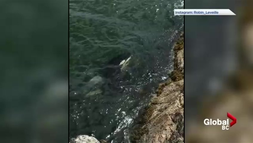 Orcas join swimmers at West Vancouver's Whytecliff Park