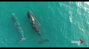 Stunning drone footage of bowhead whales