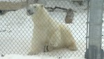 Humphrey the polar bear gets used to his new surroundings