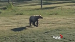 2 young grizzly bears relocated to wilderness northwest of Calgary
