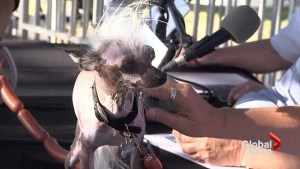29th annual World's Ugliest Dog Contest kicks off