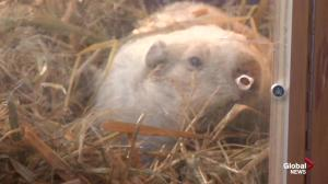 Wiarton Willie sees his shadow, predicts six more weeks of winter