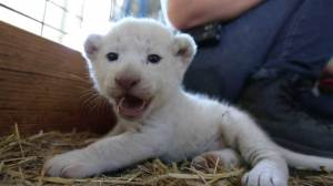 Four white lion cubs born at wildlife park in Australia