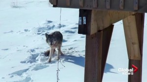 Coyote spotting surprises residents of Halifax-area subdivision
