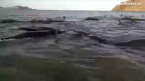 24 pilot whales die after beaching themselves near Baja
