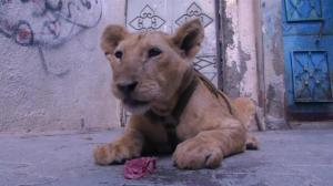 International charity removed two lion cubs who were living with family in Gaza refugee camp