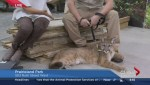 Baby cougar draws people to Gardenscape in Saskatoon