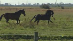 Cavalia horses given room to roam at Manitoba farm
