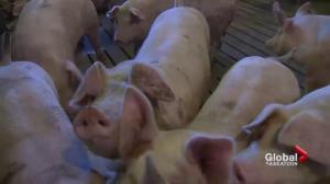 Saskatchewan pork producers fearful of devastating PED virus in Manitoba