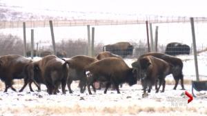 Bison being returned to Banff National Park