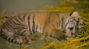 Australia Zoo celebrates birth of two Sumatran tiger cubs