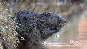 Do you give a dam about the beaver?