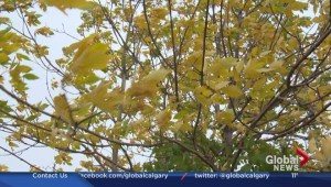 Why some trees are turning yellow early