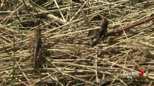 Grasshoppers taking over in parts of Alberta farmland