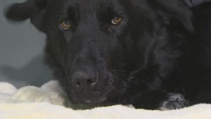 Dog found injured with trap on jaw on Peguis First Nation