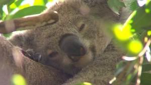 Australian scientists celebrate vaccine that helps koala bears fight chlamydia