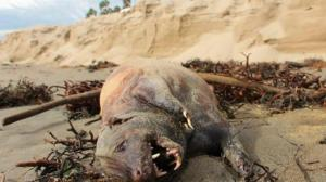 Strange-looking creature washes up on California beach