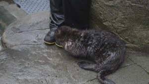 Vancouver Aquarium otters meet for the first time