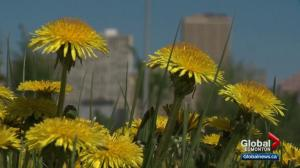 Edmontonians want city to do more about dandelions