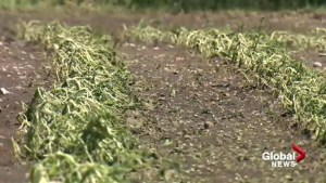 Organic farm outside Calgary loses entire harvest in hail storm