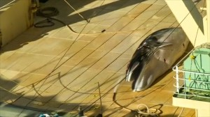 Japan caught with dead whale on ship; accused of whale hunting