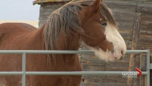 Vulcan horse rescuer uses horses for medical help
