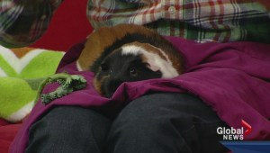 Pet of the Week: Muffin the Guinea Pig.
