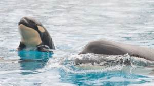 Camera captures moment baby killer whale is born at SeaWorld