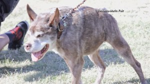 A mutt named Quasi Modo crowned World's Ugliest Dog