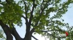 Community fights to save 200-year-old oak tree