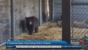 Bear cubs doing well 3 months after being found in Banff bathroom