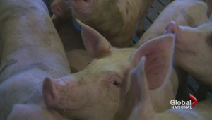 Pork industry hit hard by Russia's sanctions against Canada