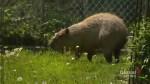 2 capybaras break out of pen at Toronto's High Park Zoo
