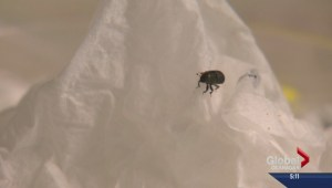 UBCO says baiting Pine Beetle sometimes doesn't work